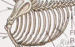 skeleton ribs comparison
