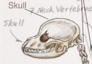 skeleton Skull Comparison